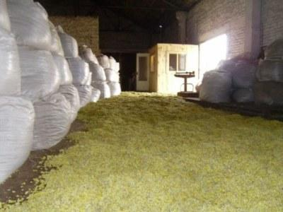 Storage of medicinal herbs.Helichrýsum arenárium assembled in a clean area of Volyn (Ukraine) and carefully dried in the drying chambers. Medicinal herbs are ready to be sent to pharmaceutical compan.