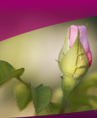 Die Rose - Auge aller Blumen