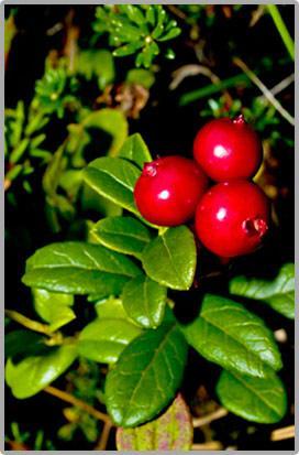 Berries - Cranberries
