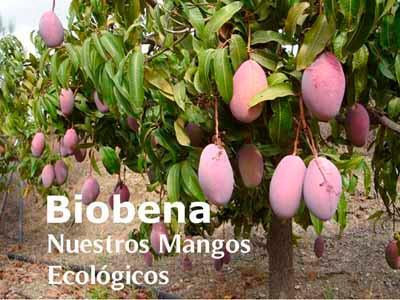 Árbol de mango ecológico variedad Osteen.