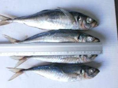 WHOLE ROUND FROZEN HORSE MACKEREL  FROM 16 CM+ TO 30CM+