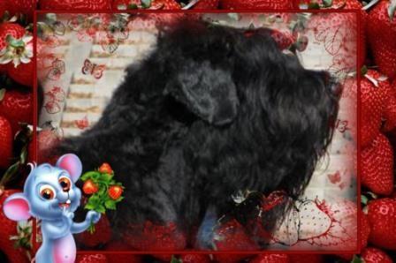 У нас пополнение черных терьеров.Подробное фото деток на сайте компании pitomnik-dog.com.Надежная охрана, верный друг.