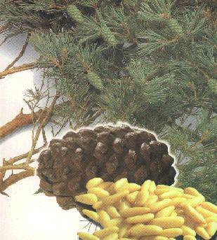 pakistani pine nuts kernel