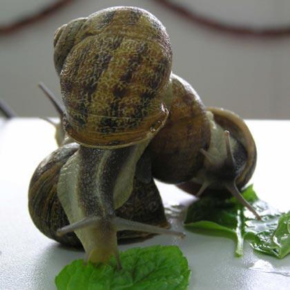 El caracol común de jardín (Helix aspersa) es una especie de molusco gasterópodo pulmonado de la familia Helicidae, de vida terrestre.