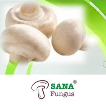 This kind of mushroom reaches a size between 5-10 cm.The firm flesh is white with a dark brown spore and contains vitamin D, sodium, potasium and antioxidants. is the most consumed type of mushrooms.