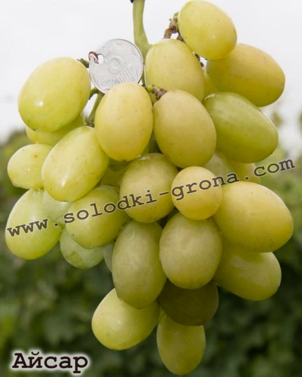 New table form an early ripening grape. The clusters are large, conical, medium density, mass of 500-700, the berries are oval, white, the average weight of 10-12 berries Pulp fleshy, harmonious
