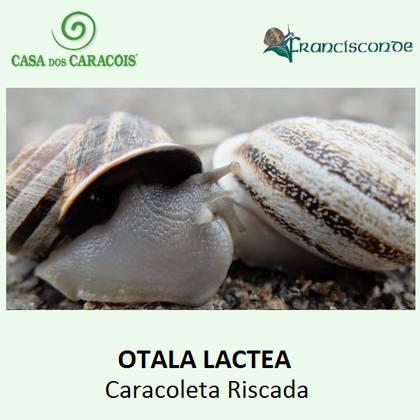 """Este caracol é muito apreciado e consumido em Itália, França e Península Ibérica com exemplos gastronómicos como , """" la Cargolade"""" ou """" Caracoleta guisada ou caracoleta de cebolada"""""""