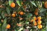 vista de mandarinas