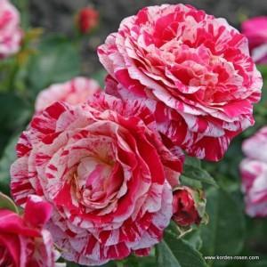 http://www.famousroses.eu/en_garden_roses/abracadabra-grouped-flower-rose-kordes-germany.html