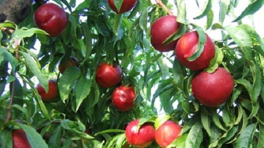 Frutas propias