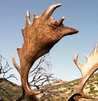 Fallow Deer from Spain