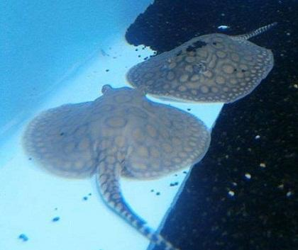 These are 2 of our potamotrygon motoro stingray pups , which are the first ever born in Greece , in August 2013!