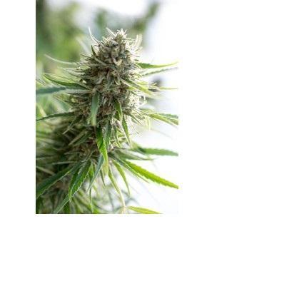 Semillas de marihuana critical mass