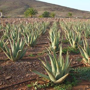 Plantación de Aloe Vera en Fuerteventura.