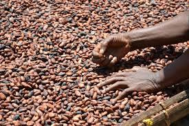 Sun dry cocoa beans ready for packaging