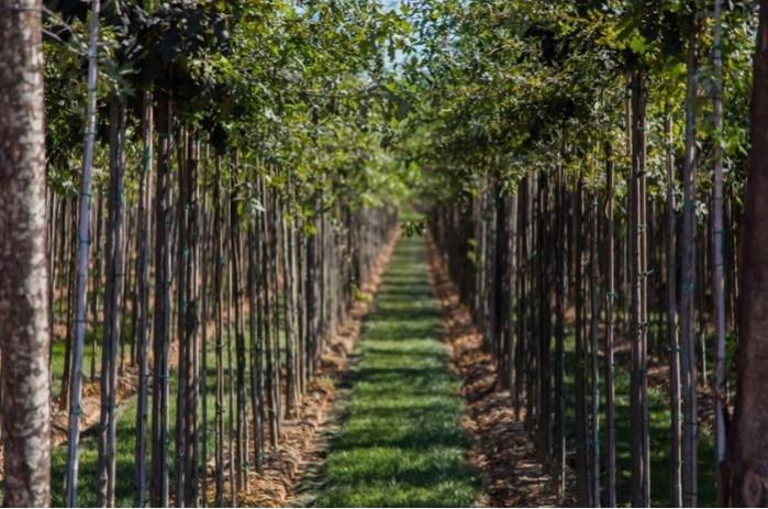 Árboles de tallo en Rootball / raíz desnuda