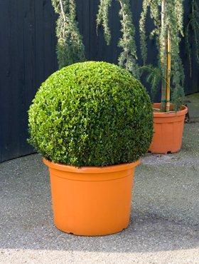 mediterrane Pflanze