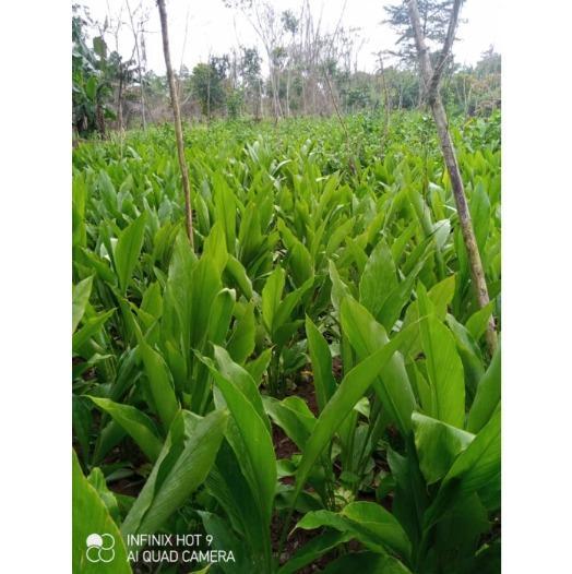 Plantation de curcuma