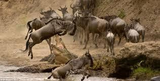 The annual wildebeest migration is still on going. Do not miss the opportunity to witness it