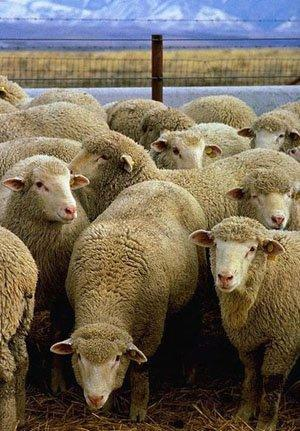 We Buy Wool from Sheep. Raw Wool, Greasy Wool, Merino Wool, Carpet Wool, Tannery Wool,Scoured Wool, Washed Wool, Mattress Wool.