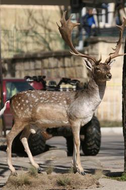 Fallow Deer - Life Size Price:1,250E