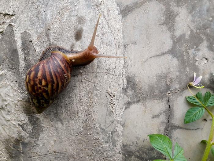 Héliciculture : élevage d'escargots