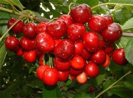 Supplier sweet cherry from South Ukraine. Season: June-Jule