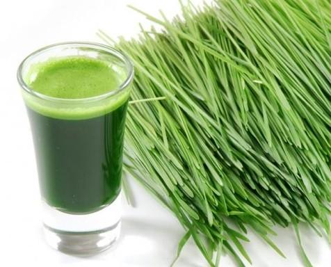 Find here Wheatgrass manufacturers, Wheatgrass suppliers, Wheatgrass producers, Wheatgrass exporters, Wheatgrass production