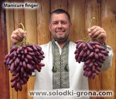 Сорт винограда Маникюр фингер