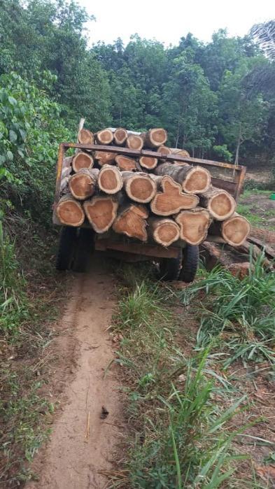 Production bois de teck Côte d'Ivoire