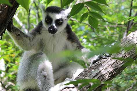 Lemur Catta de Madagascar