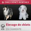 ELEVAGE DE BOBTAILS ET COLLEY OWLS DENE'S
