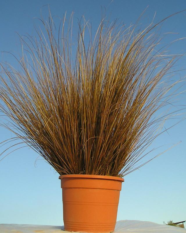 Carex - null
