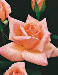 Rosai a grandi fiori - Rosa Vivace