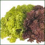 Lettuce - Lollo Bionda & Lollo Rossa