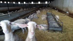 ASSAF SHEEP - MILK SHEEP ASSAF