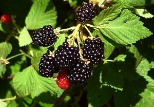 Blackberry - Rubus Fruticosus - dried leaves and fruit -