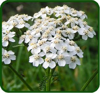 ACHILLEE MILLEFEUILLE - Achilea millefolium - Huiles essentielles