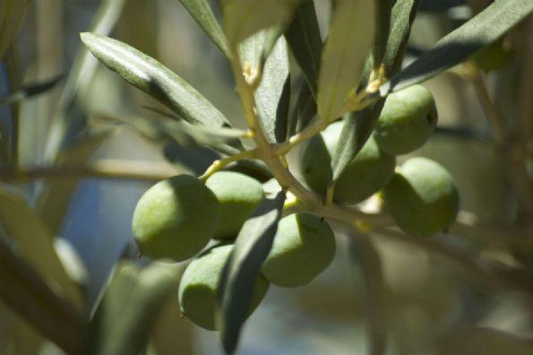 HOJA DE OLIVO - Recolección y Distribución de Hoja de Olivo