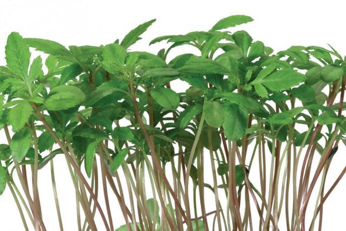 Aclla Cress - Micro végétaux
