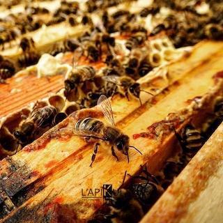 ESSAIM ABEILLES NOIRES 5 CADRES - Essaim abeilles noires 5 cadres dadant ou Langstoth