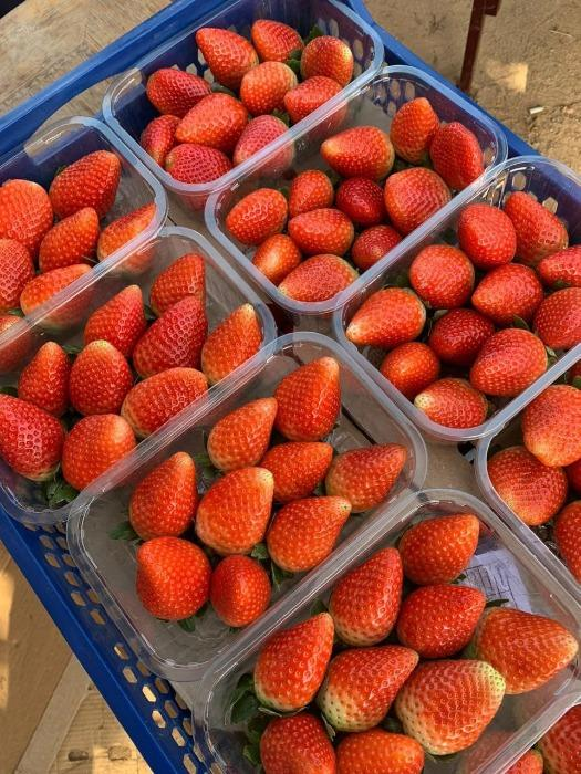 "Fresh strawberries - "" Egyptian """