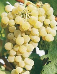 Uva Fragola Bianca - Matura a fine settembre
