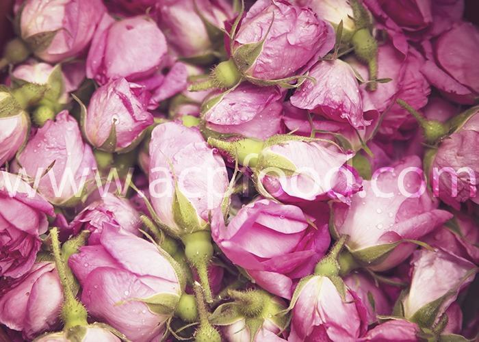 Damask Rose -