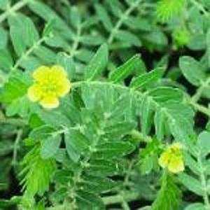 Экстракт Tribulus Terrestris - Экстракты растений
