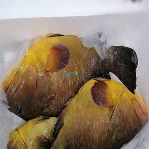 石斑鱼 -