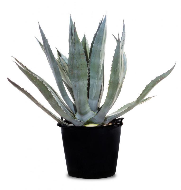 Agave americana - Succulente