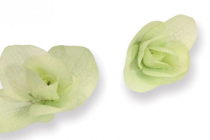 fleur comestible - Floregano