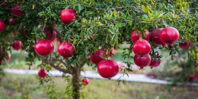 pomegranate - fresh pomegranate