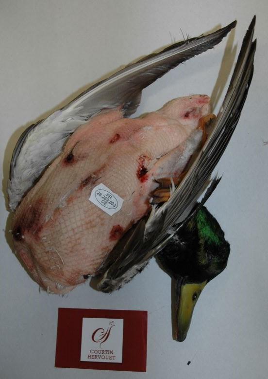 Canard colvert - null